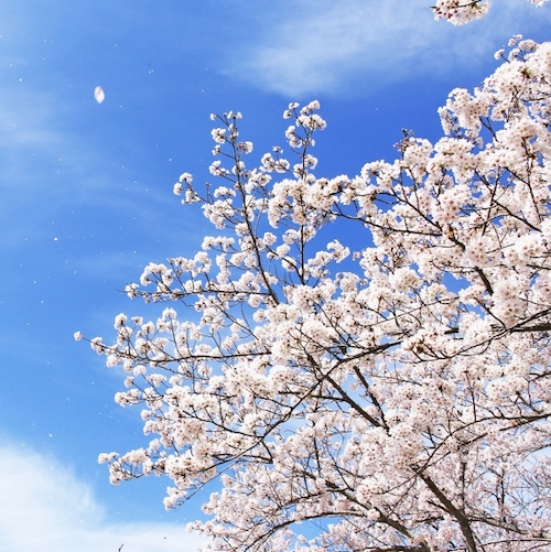 春の風を待つあの花のように